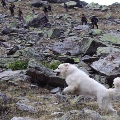 135) La chienne court pour leur échapper