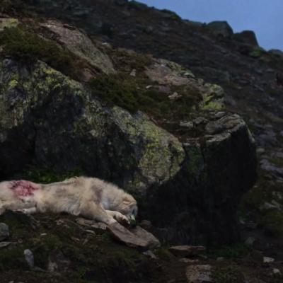 139) La chienne est blessée, heureusement les chasseurs repartent