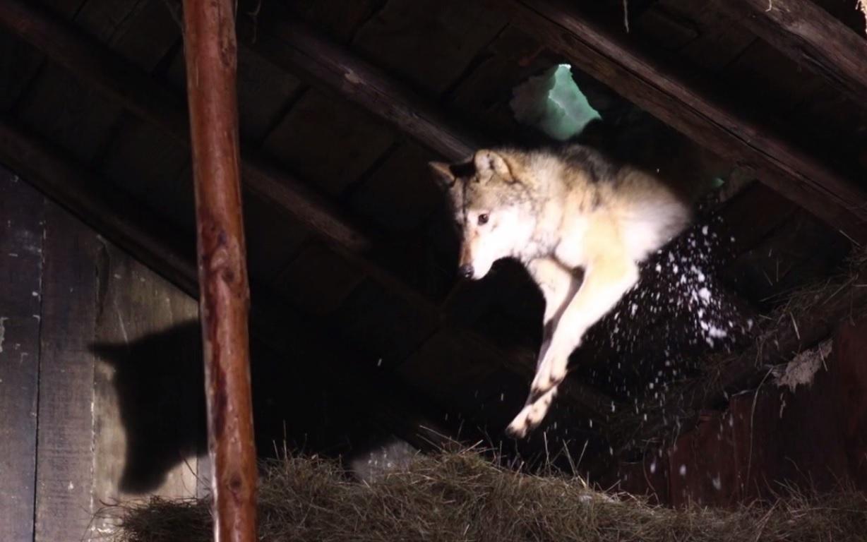 Les loups attaquent la bergerie