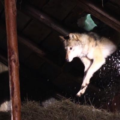 194) Les loups attaquent la bergerie